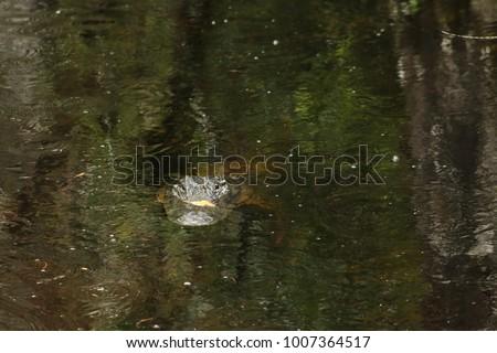 an american alligator #1007364517