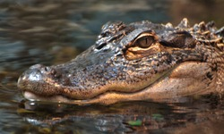 An American alligator (Alligator mississippiensis), in a Florida swamp