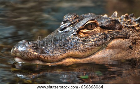 An American alligator (Alligator mississippiensis), in a Florida swamp
