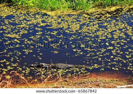 an American alligator (Alligator mississippiensis) of Paynes Prairie State Preserve, Gainesville, FL