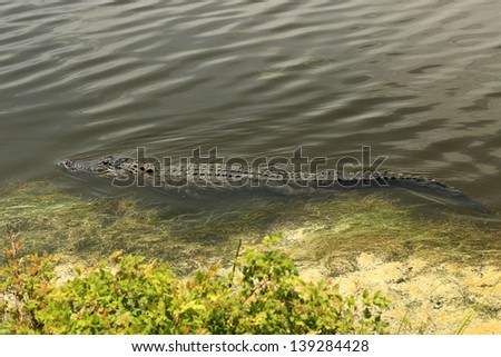 An American Alligator swims along in a coastal wetland in South Carolina, USA #139284428