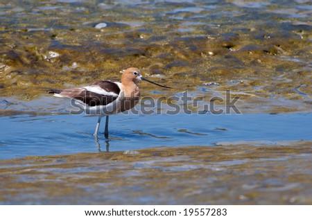 An American Avocet wading in marshland near the bay. - stock photo