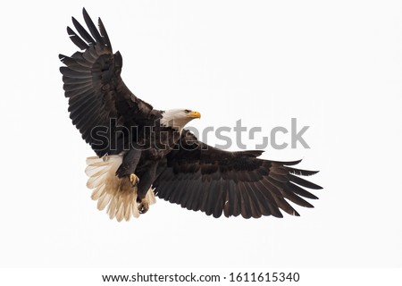 An American Bald Eagle coming in for a landing. Foto stock ©