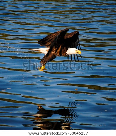 An American bald eagle fishing with its reflection below it - stock photo