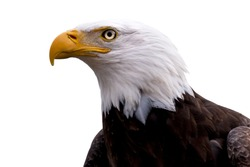 An American Bald Eagle  - Haliaeetus leucocephalus -  isolated on a white background.