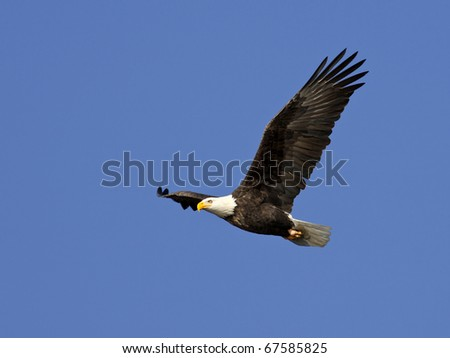 An American bald eagle in flight up in the bright blue sky.