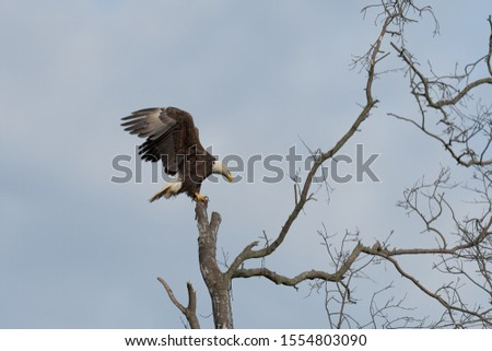An American Bald Eagle perched in a tree. #1554803090