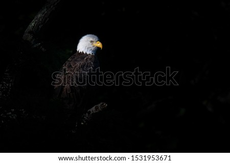 An American Bald Eagle perched in the shadows.