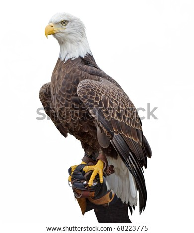 An american bald eagle perched on a handler's glove