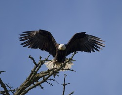 An American bald eagle preparing to land on the branch of a tree.