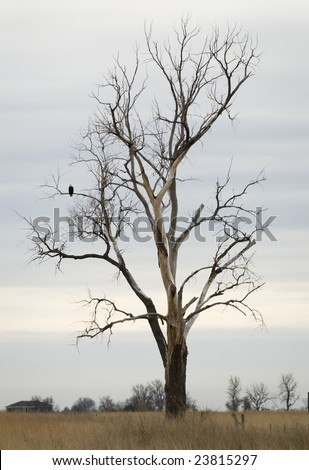 An American Bald Eagle rests on his perch in a large cottonwood tree in South Dakota