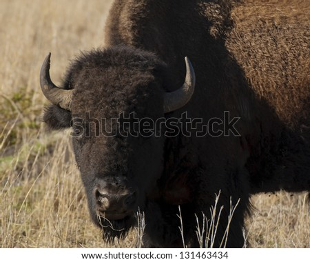 An American Bison in the Wichita Mountains National Wildlife Refuge stare at the camera