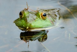 An American Bullfrog (Lithobates catesbeianus) poses for a portrait while in the marsh pond.