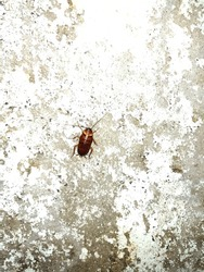 An American cockroach (Periplaneta americana) resting on peeled wall. Patchy white wall with exposed cement.
