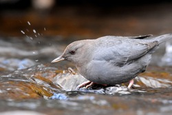 An American Dipper searches for food along a stream in the Rocky Mountains of Colorado.