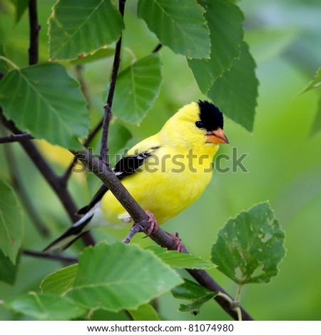 An American Goldfinch perched in a tree with a green background. #81074980