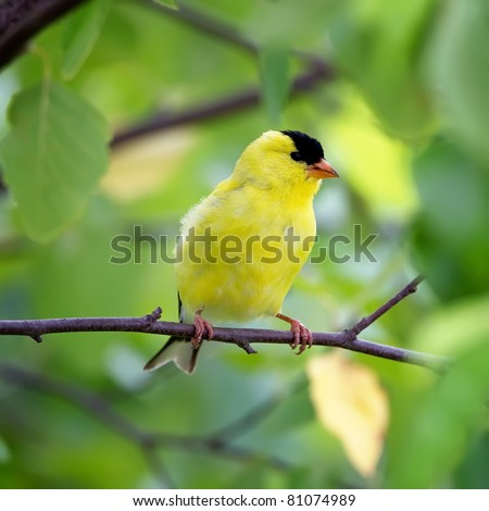 An American Goldfinch perched in a tree with a green background. #81074989