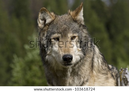 An American Gray Wolf pauses to wait for the rest of his pack