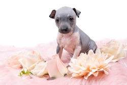 An American Hairless Terrier puppy laying on a pink furry blanket with pink flowers