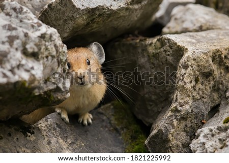An American pika looking out from its nesting cavity on a scree slope Zdjęcia stock ©