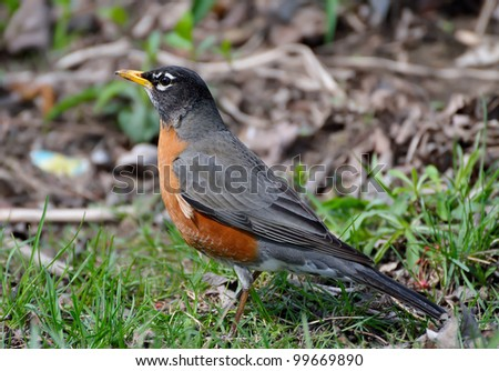 An American Robin on the meadow - stock photo