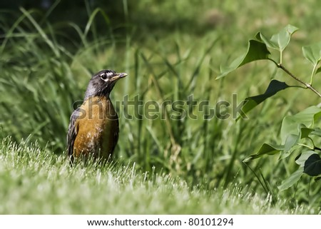 An American robin (Turdus migratorius) on the lawn.