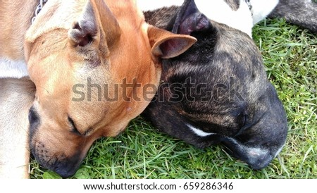 An American Staffordshire Terriers couple #659286346