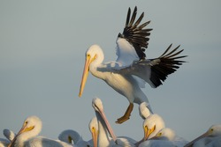 An American White Pelican lands in a flock of other pelicans with its large wings spread in late evening sunlight.