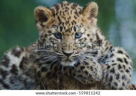 An Amur Leopard Cub lounges in a tree #559811242