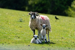 An amusing photo of a Ewe standing in a field with one of her lambs sitting and the other one standing in a field looking directly at the camera