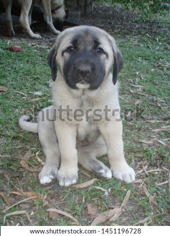 An Anatolian Shepherd Dog Puppy  #1451196728