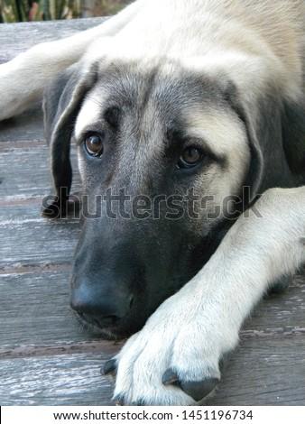 An Anatolian Shepherd Dog Puppy  #1451196734