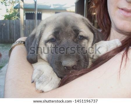 An Anatolian Shepherd Dog Puppy  #1451196737