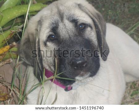 An Anatolian Shepherd Dog Puppy  #1451196740