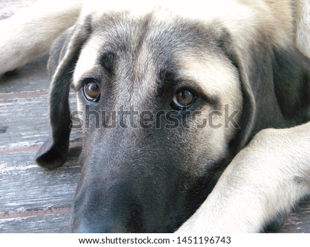 An Anatolian Shepherd Dog Puppy  #1451196743
