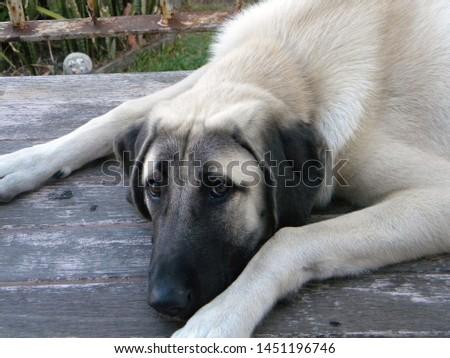 An Anatolian Shepherd Dog Puppy  #1451196746