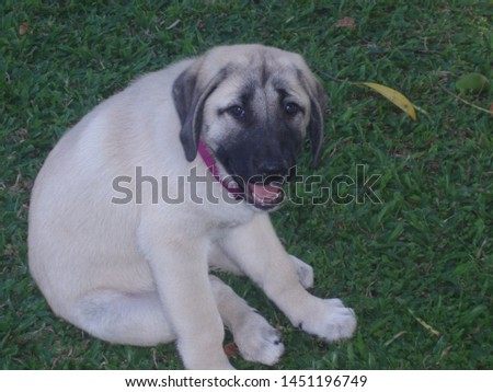 An Anatolian Shepherd Dog Puppy  #1451196749