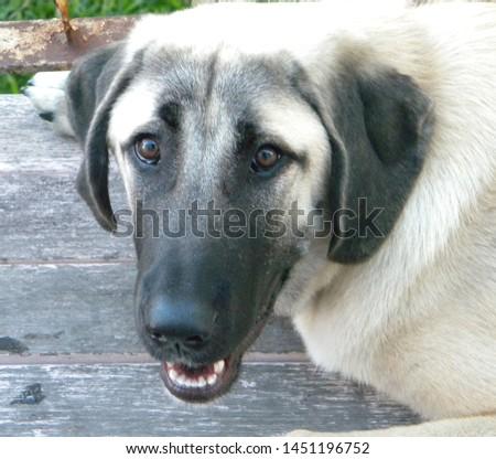 An Anatolian Shepherd Dog Puppy  #1451196752