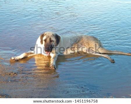 An Anatolian Shepherd Dog Puppy  #1451196758