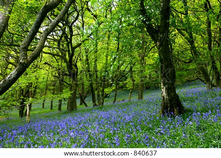 An ancient bluebell forest in springtime.