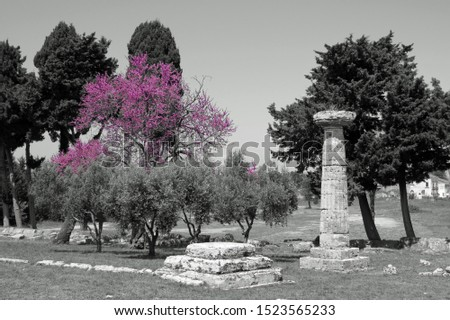 An ancient greek column and another socle in front of firs, pine trees, bushes and one tree with pink blossoms in a park in Paestum, Italy, Europe
