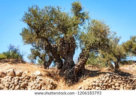 An ancient olive tree in Hebron (el Halil).