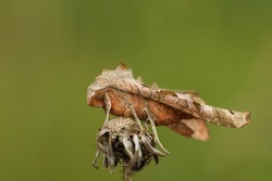 An Angle Shades Moth, Phlogophora meticulosa, roosting on the top of a plant.