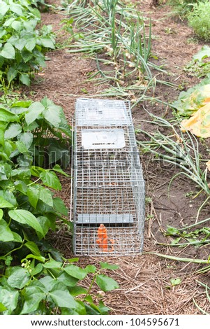 An angled view of a live bait trap set in a row of a vegetable garden