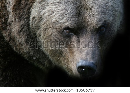 An angry bear looking to the camera