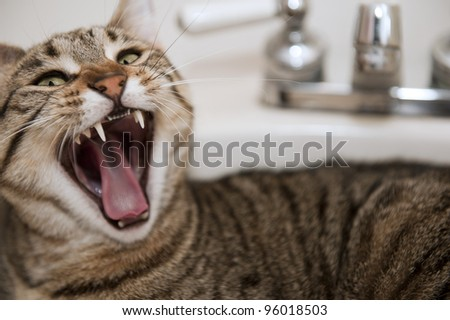 An angry cat lying in a bathroom sink bares its fangs, selective focus on fangs