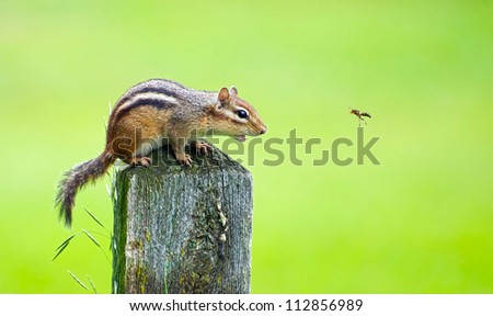 An angry chipmunk being bothered by a wasp in the summer.