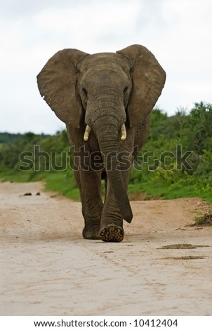 An Angry Elephant comes storming down the road