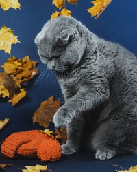 An angry gray Scottish cat raised its paw to strike. The cat does not like to wear a hat. Blue background and yellow leaves. Clothes for pets. The cat in the hat. Autumn blues. Emotions of animals.