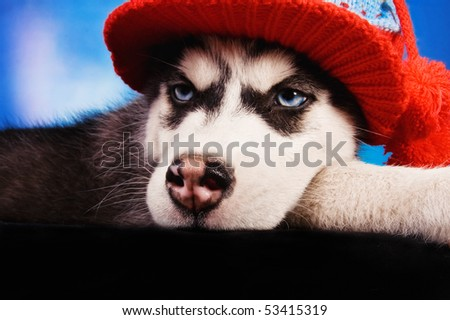 Stock Photo An Angry Looking Husky Puppy With A Hat